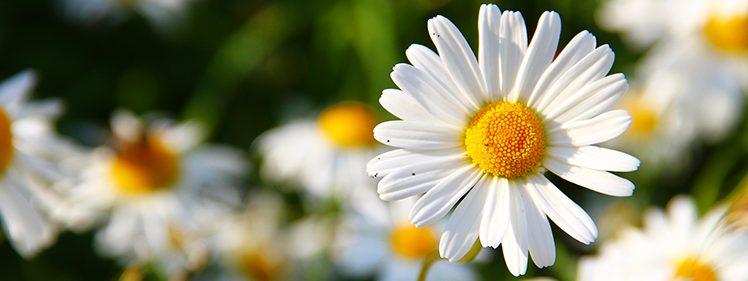 Butterfly Friendly Plant-Daisy