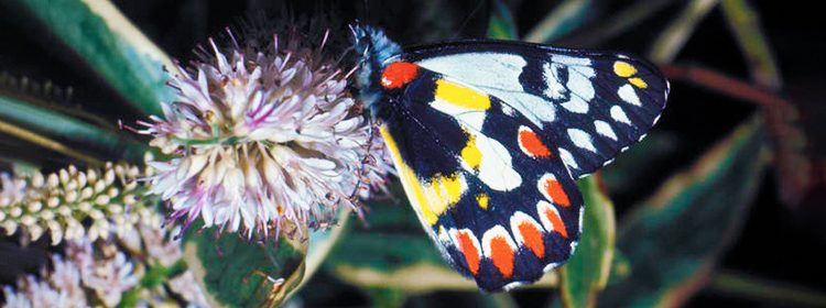 Red-spotted Jezebel butterfly