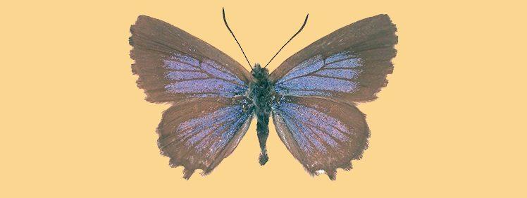 Saltbush Blue Butterfly